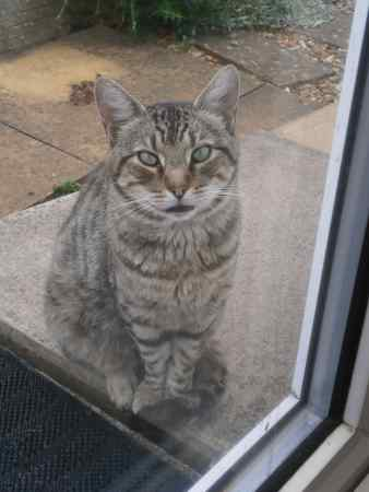Found Tabby Cat in Northampton