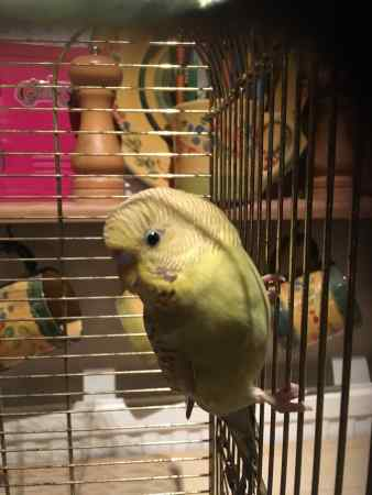 Found Budgie Bird in Islington