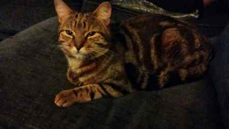 Found Tabby Cat in Barnsley