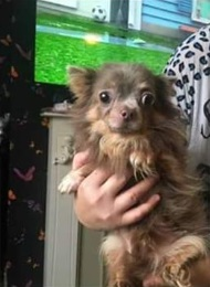 Found Chihuahua Dog in Blackpool
