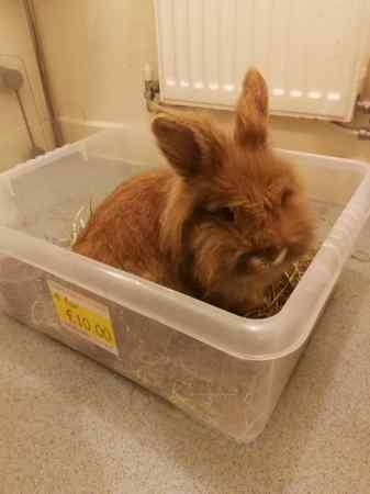 Found Unknown - Other Rabbit in Red Lodge