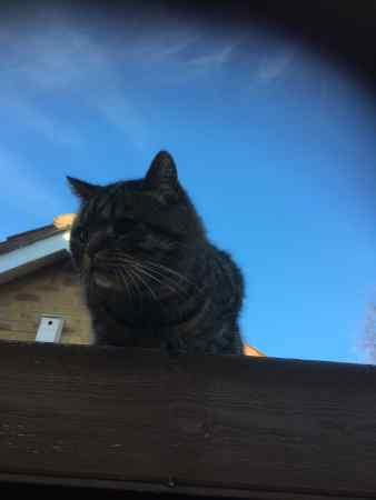 Found British Short Hair Cat in Barlborough