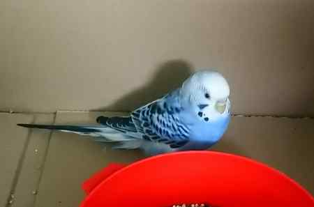 Found Budgie Bird in Lowestoft