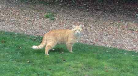 Found Domestic Short Hair Cat in Hemingford Grey