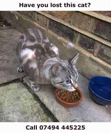 Found Bengal Cats in London (Tooting)