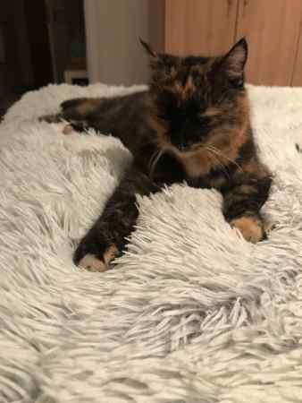 Found Tortoiseshell Cats in Wimbledon