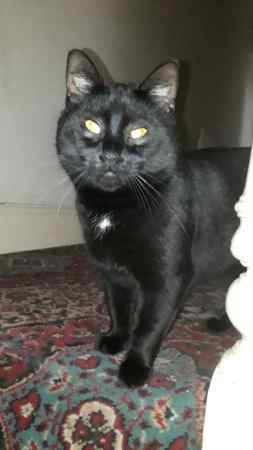 Found Domestic Short Hair Cat in Wolverhampton