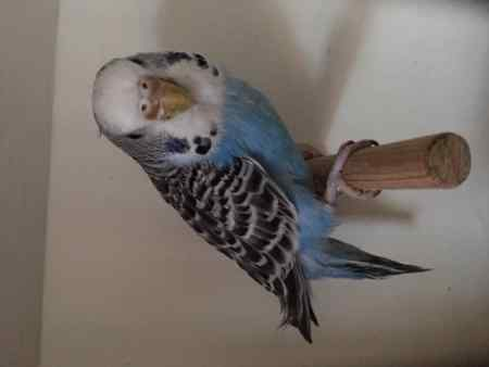 Found Budgie Bird in Lingwood, Norwich