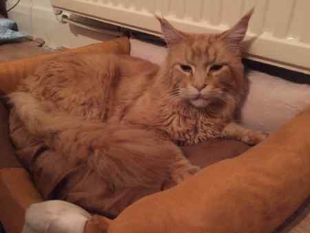 Found Maine Coon Cat in London