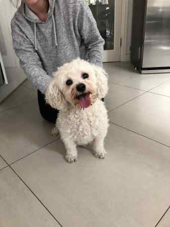 Found Bichon Frise Dog in Rowfant Road