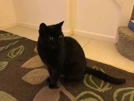 Found Domestic Short Hair Cat in Earl Shilton