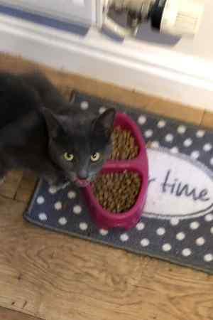 Found Domestic Short Hair Cat in Southwell