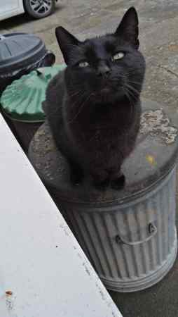 Found Domestic Short Hair Cat in New York, Coningsby