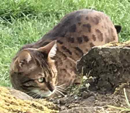 Found Bengal Cat in Shap