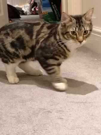 Found Domestic Short Hair Cats in Sydenham - Fairlawn