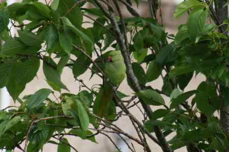 Found Parrot, Parakeet Birds in Hamilton