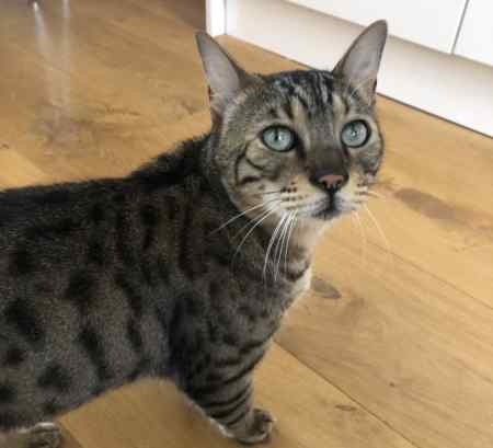 Found Bengal Cat in London