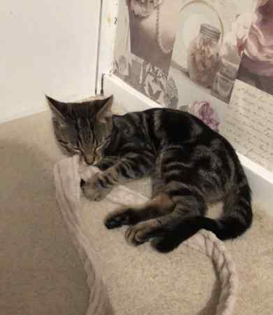 Found Unknown - Other Cat in Pitsea