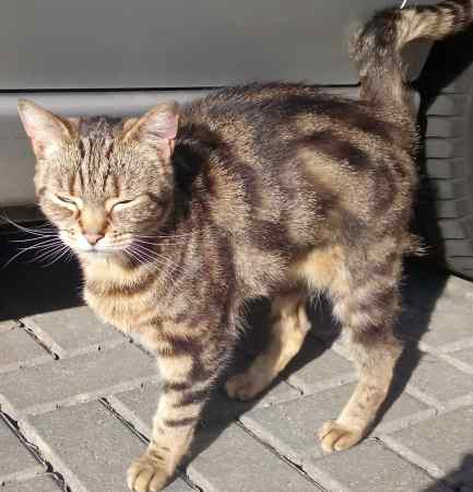 Found Tabby Cats in Derby