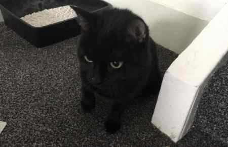 Found Domestic Short Hair Cats in Leytonstone