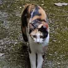 Found Domestic Short Hair Cats in Bovey Tracey