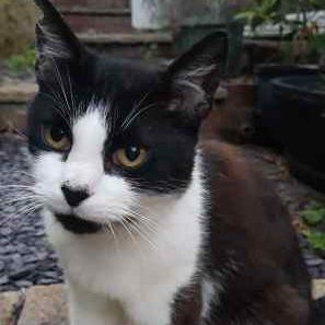 Found Domestic Short Hair Cats in Cleobury Mortimer