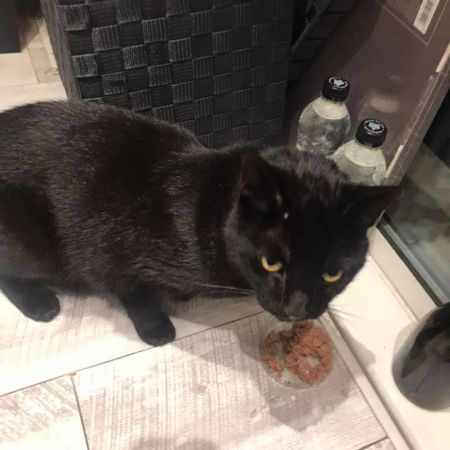 Found Domestic Short Hair Cats in Woolwich Arsenal-Riverside