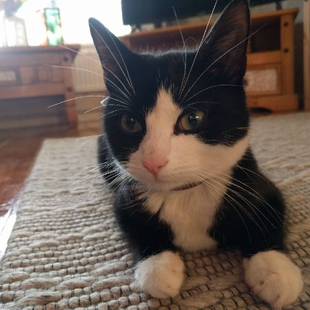 Found Domestic Short Hair Cats in Birchwood, Warrington
