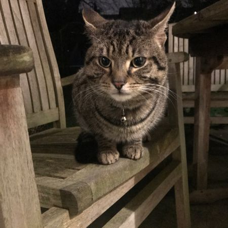 Found Domestic Short Hair Cats in Streatham