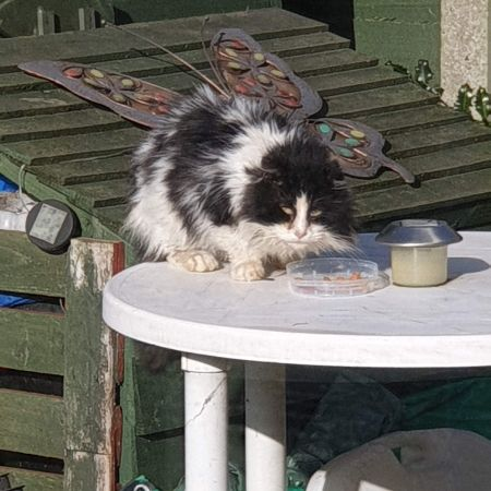 Found Domestic Short Hair Cats in Chadwell Heath