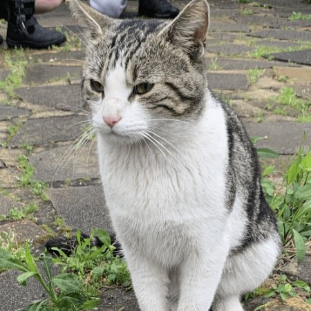 Found Tabby Cats in Greenford