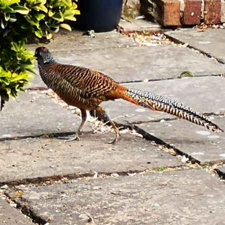 Found Pheasant Birds in Audenshaw