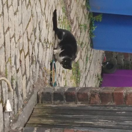 Found Domestic Short Hair Cats in Walton Liverpool