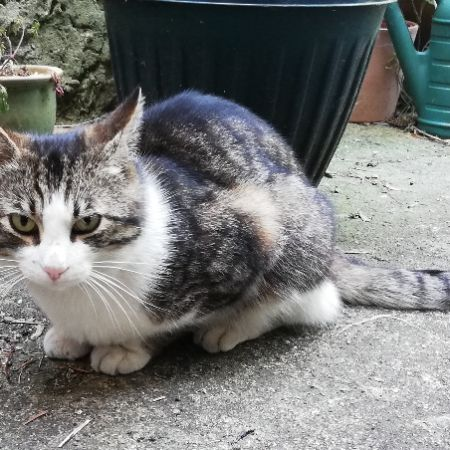 Found Domestic Short Hair Cats in Thornton Heath
