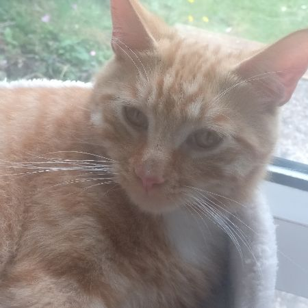 Found Domestic Short Hair Cats in Hungerford