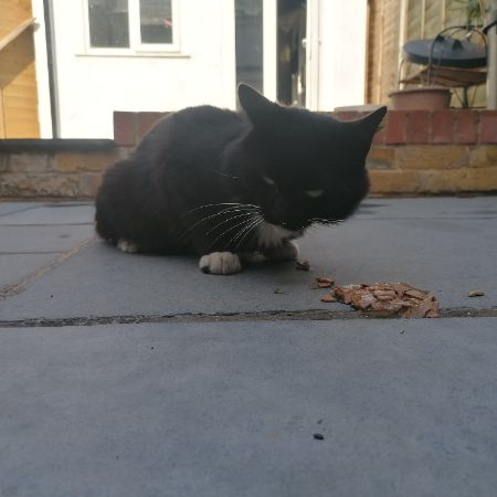Found Domestic Short Hair Cats in Dartford