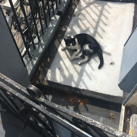 Found Domestic Short Hair Cats in London