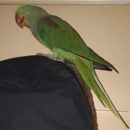 Found Bird Parrot Parakeet From London Se15 Greater London