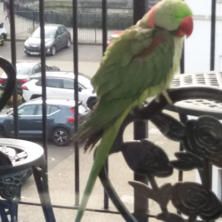 Found Parrot, Parakeet Birds in Rotherhithe