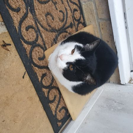 Found Domestic Short Hair Cats in Waltham Chase Southampton