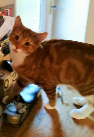 Missing Domestic Short Hair Cats in Cookridge Leeds