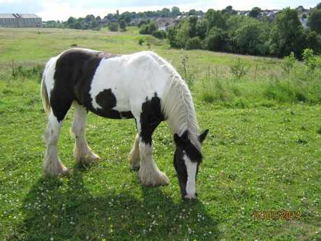 Missing Welsh Horse in Pudsey