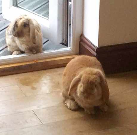 Missing Lop Eared Rabbit in York