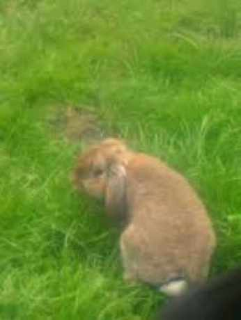 Missing Lop Eared Rabbit in Milford