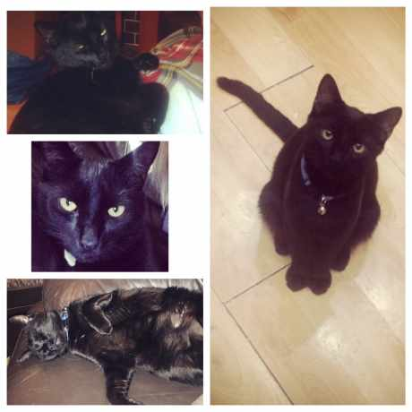 Missing Domestic Short Hair Cats in Luton