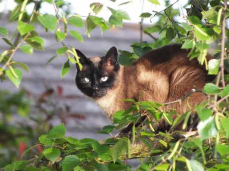 Missing Siamese Cat in Southampton