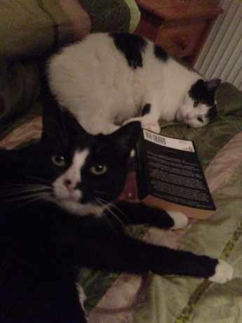 Missing Domestic Short Hair Cats in New Milton