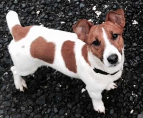 Missing Jack Russell Dogs in Chartham Hatch