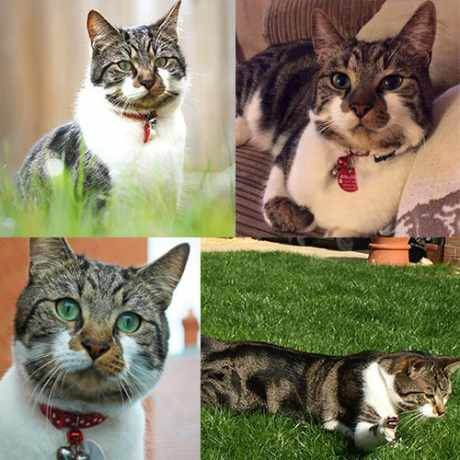 Missing Domestic Short Hair Cats in Marston Moretaine