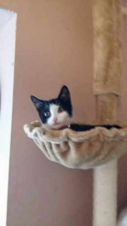 Missing Domestic Short Hair Cats in Southampton